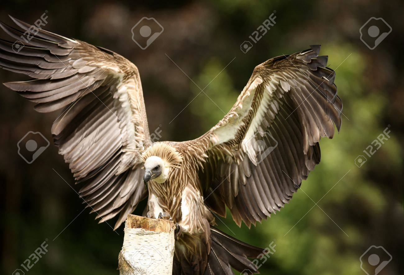Griffon Vulture in flight Stock Photo - 9569442