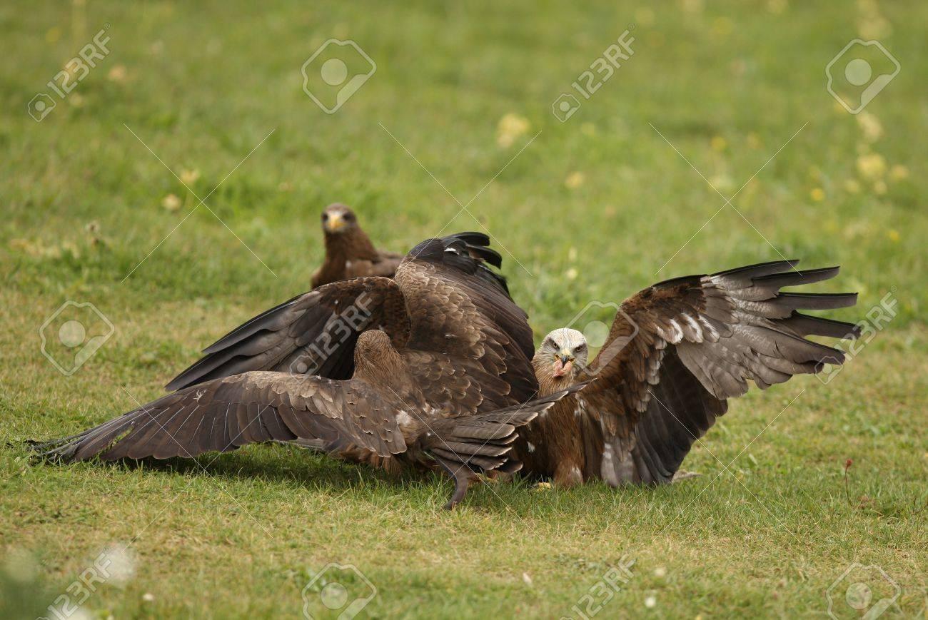 Black Kites fighting over food Stock Photo - 12419280