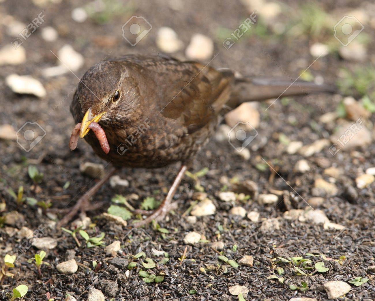 A female Blackbird collecting worms to feed her young Stock Photo - 13506221