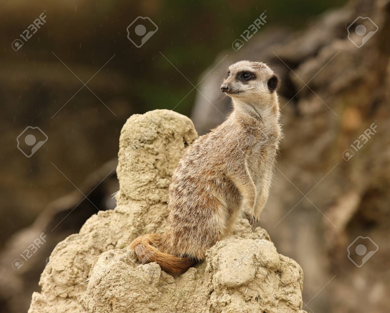Close up of a male Meerkat standing guard in the rain Stock Photo - 14511845