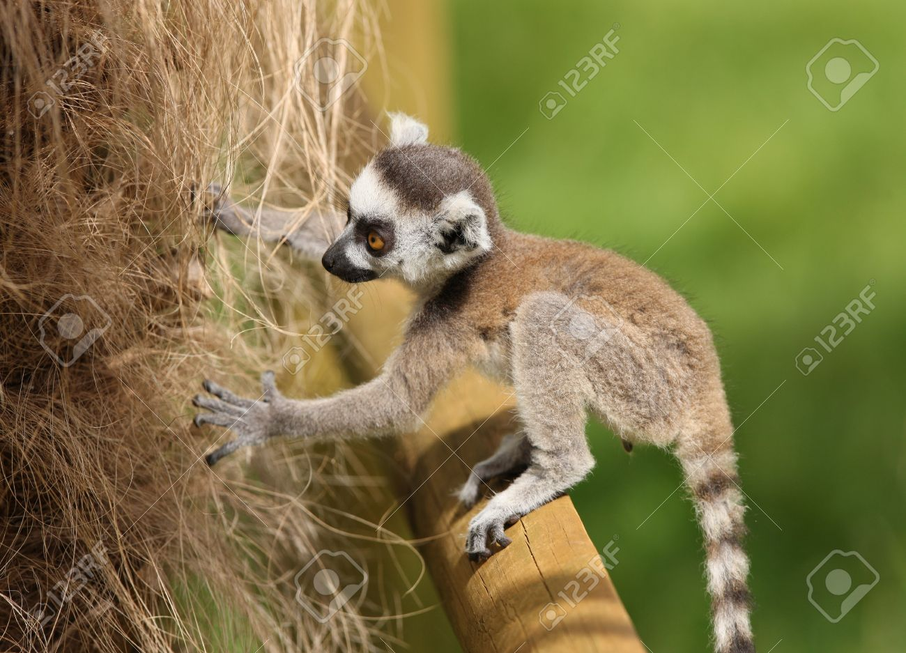 Close up of a baby Ring-Tailed Lemur learning to climb Stock Photo - 14511856