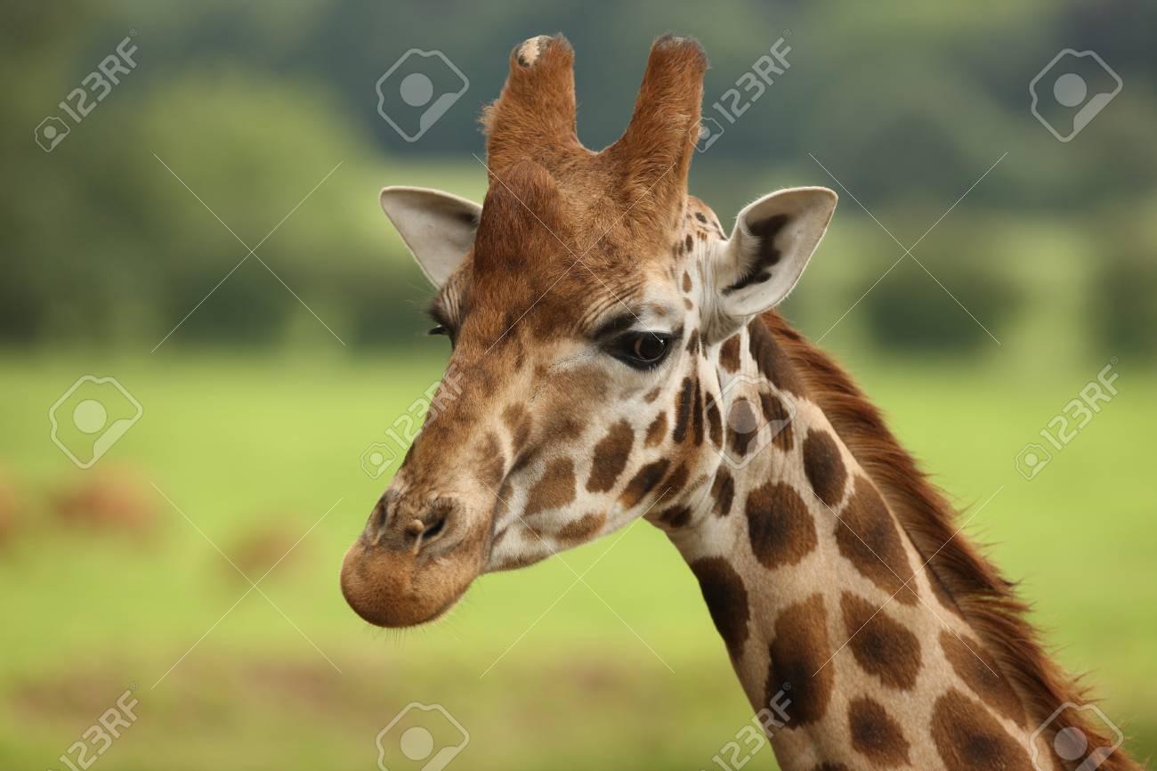Portrait of a Giraffe Stock Photo - 14511847