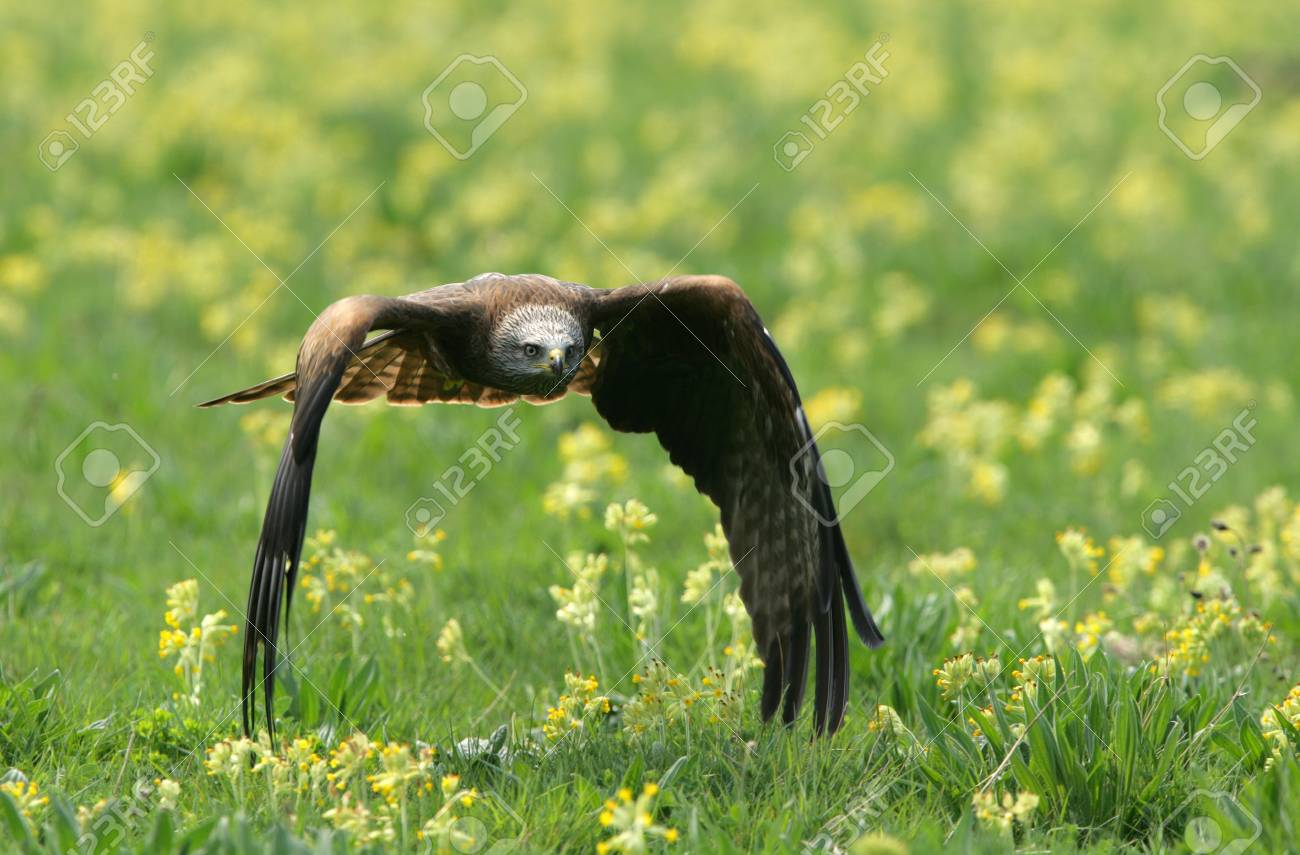 A Black Kite flying over a wild flower meadow Stock Photo - 14606400