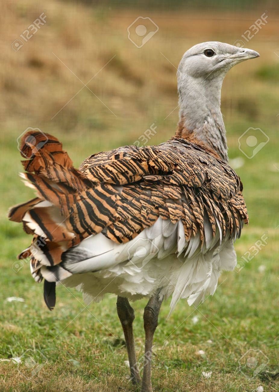 Portrait of a Great Bustard Stock Photo - 14606403