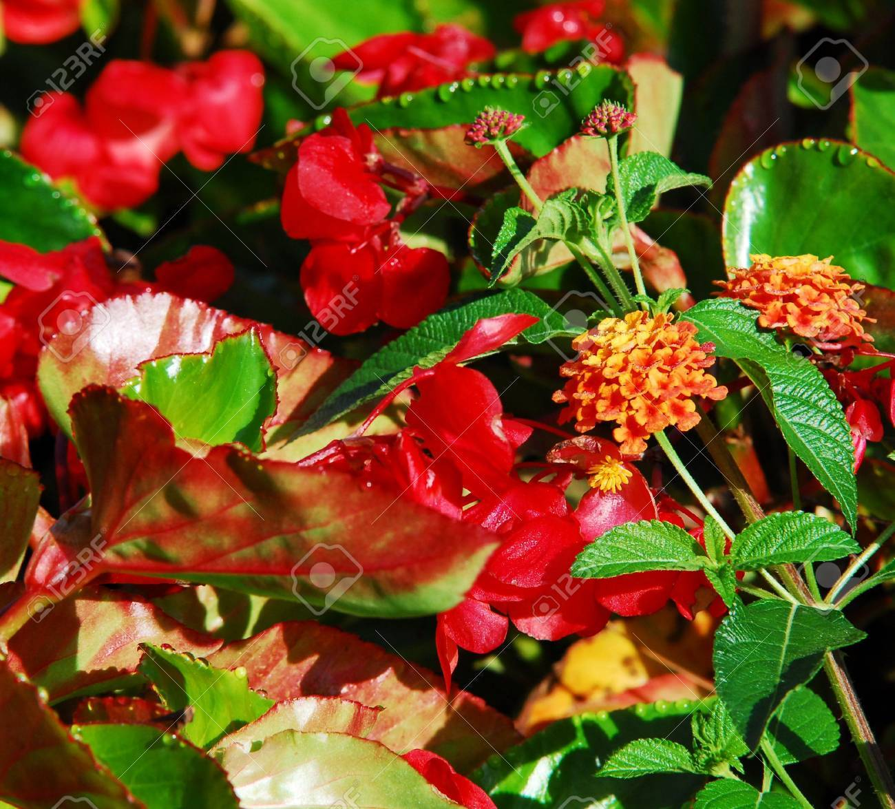 Red Dragons Tongue Plant With Water Beads Stock Photo Picture And