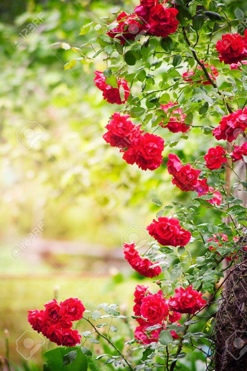 Marco de rosas naturales en el jardín de verano