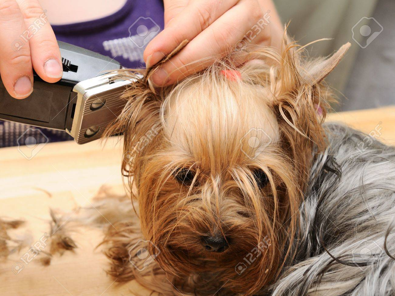 yorkshire terrier getting his hair cut at the groomer Stock Photo - 7641299
