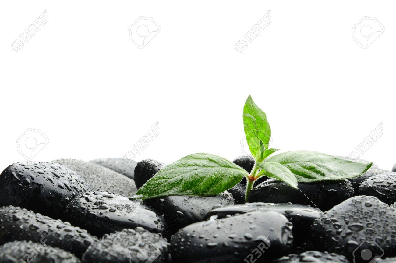 black zen stones and plant in water Stock Photo - 7641286