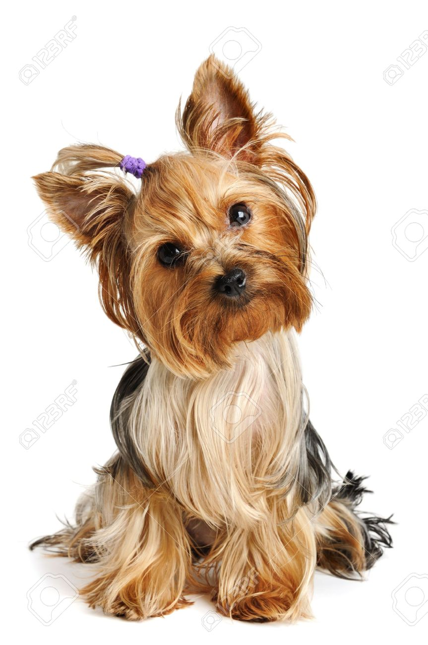 Puppy yorkshire terrier on the white background - 7826908