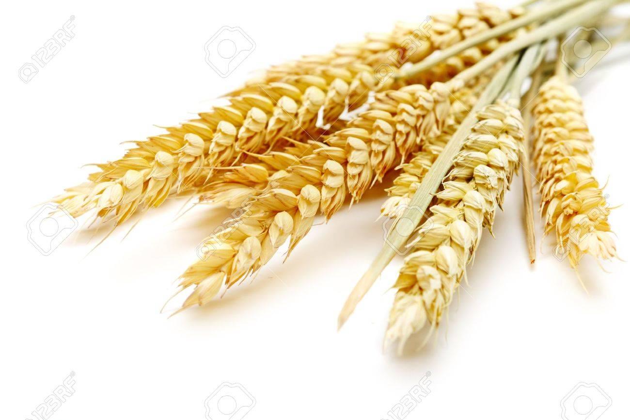 wheat on the white background Stock Photo - 8926855