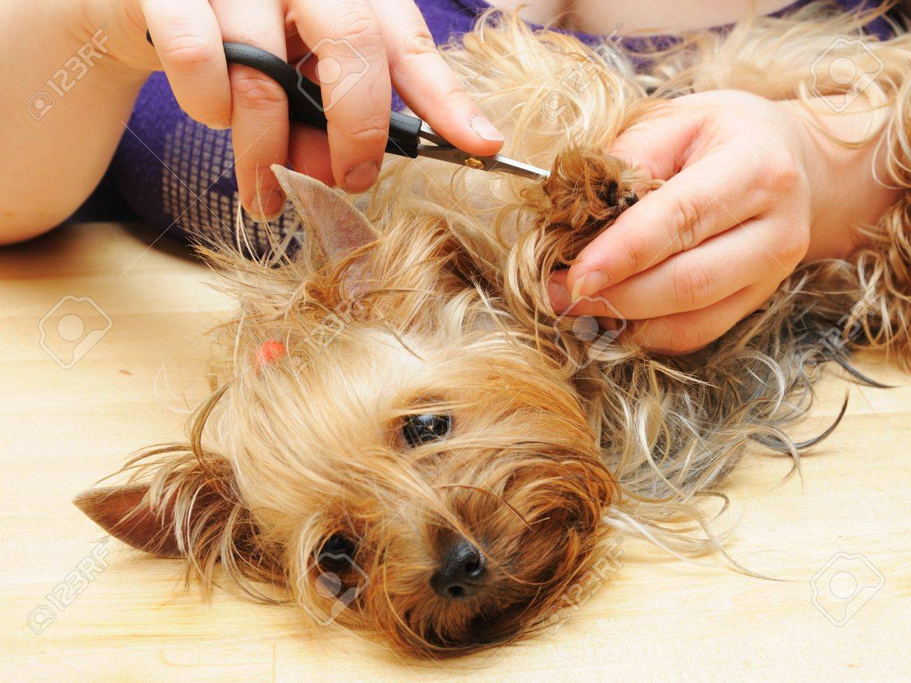 yorkshire terrier getting his hair cut at the groomer Stock Photo - 9408523