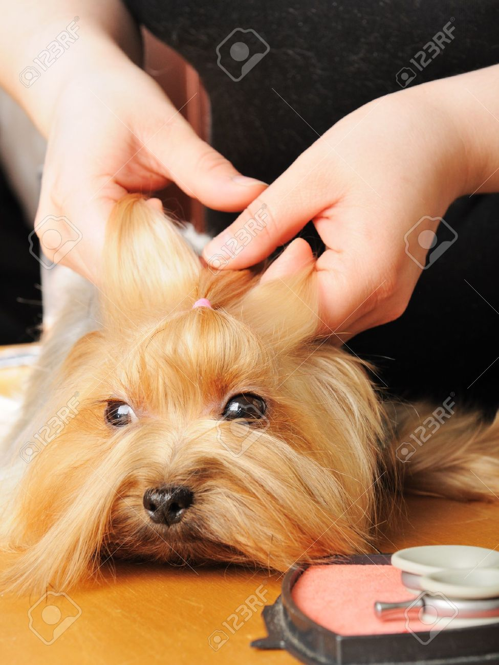 yorkshire terrier getting his hair cut at the groomer Stock Photo - 9408524