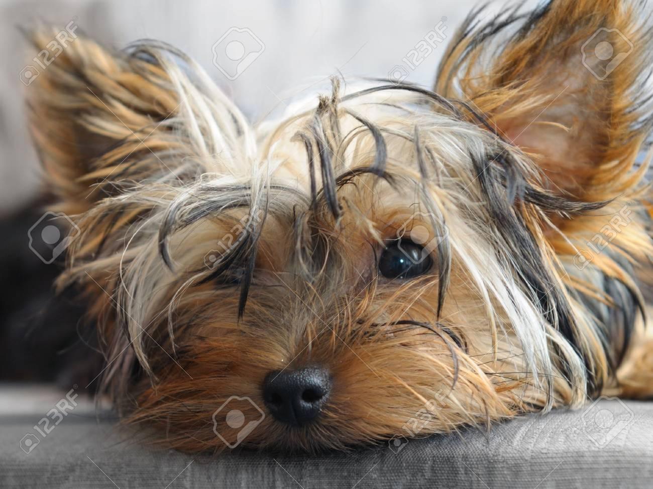 yorkshire terrier Stock Photo - 9989763