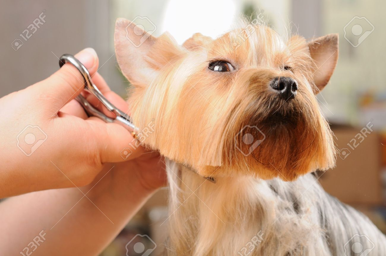 yorkshire terrier getting his hair cut at the groomer Stock Photo - 11985919