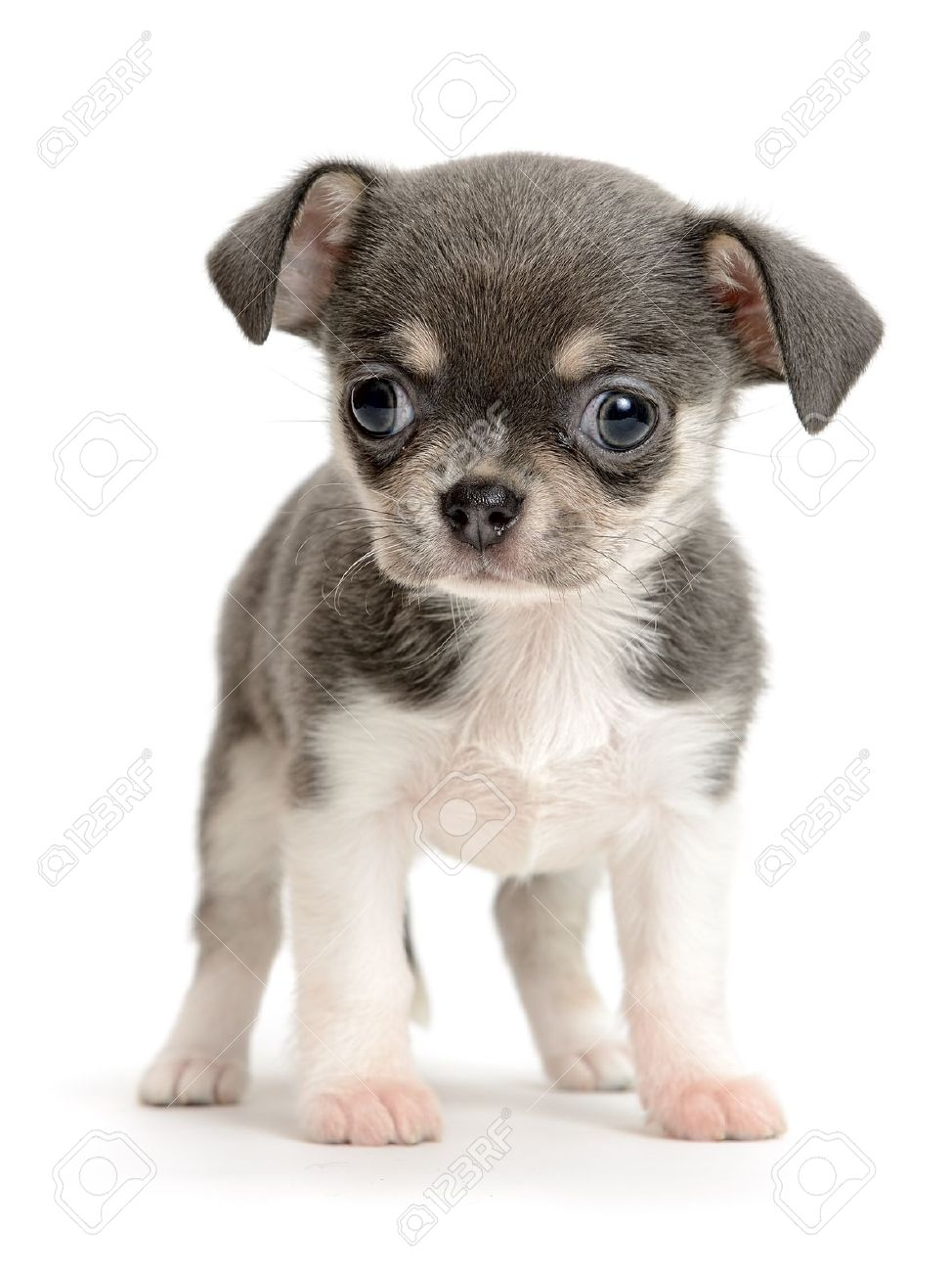 Chihuahua Puppy The Age Of 2 Month Isolated On White Stock Photo Picture And Royalty Free Image Image 15069128