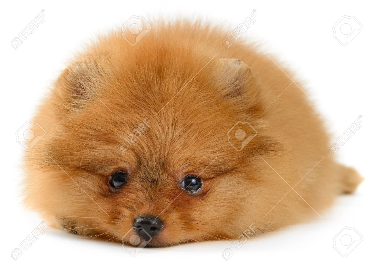 pomeranian puppy the age of 1,5 month isolated on white Stock Photo - 20884201