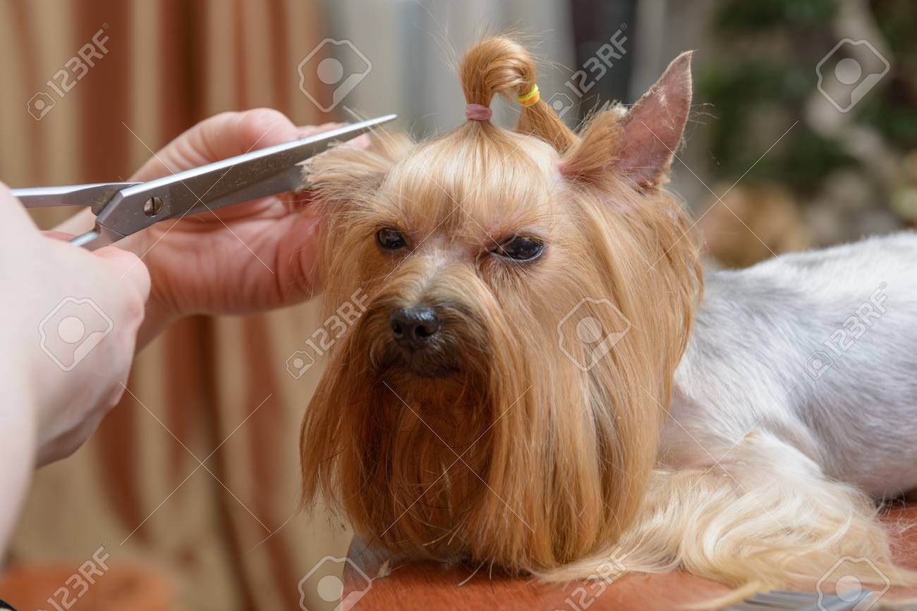 Yorkshire Terrier Getting His Hair Cut At The Groomer Stock Photo