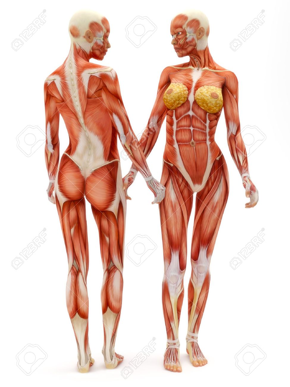 Female Musculoskeletal System Front And Back Isolated On A White ...