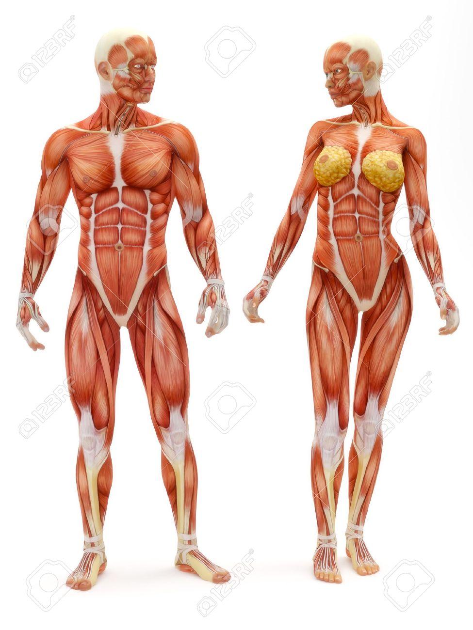 Sistema Músculo-esquelético Masculino Y Femenino Aislado En Un Fondo ...