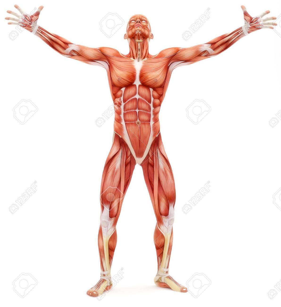 Male Musculoskeletal System Looking Upward Isolated On A White ...