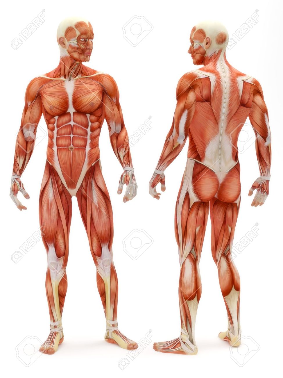 Male Musculoskeletal System Front And Back Isolated On A White ...