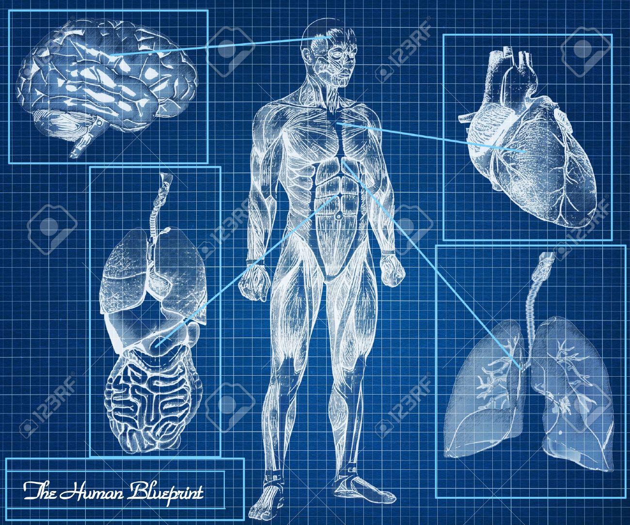 Los órganos Del Concepto Blueprint Humano, Cuerpo, Corazón, Pulmones ...
