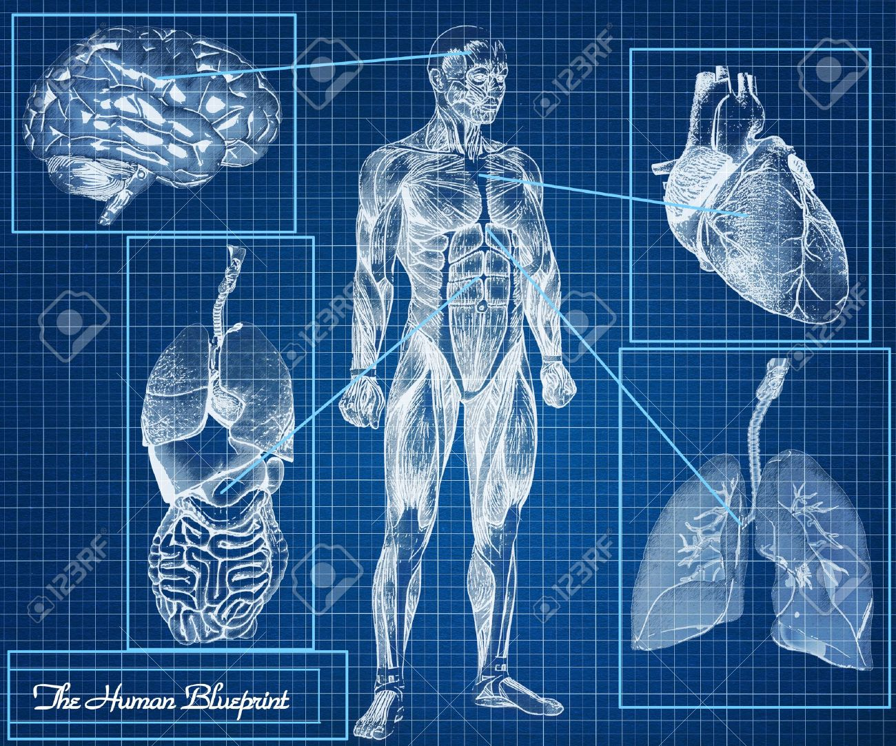 The human blueprint concept body heart lungs brain and internal the human blueprint concept body heart lungs brain and internal organs stock malvernweather Images