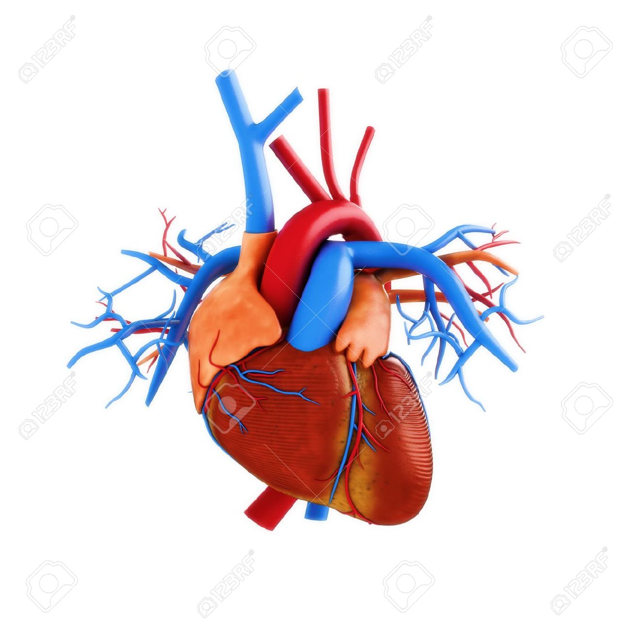 Human Heart Anatomy Illustration On A White Background Part Stock