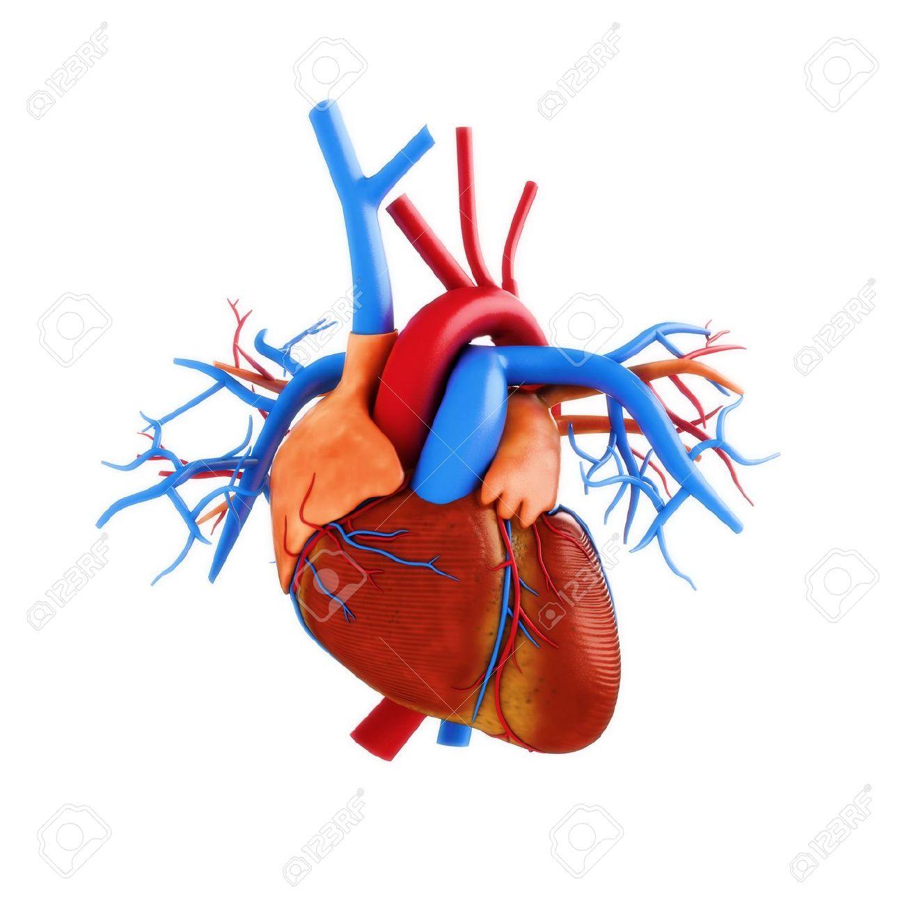 Ilustración De La Anatomía Humana Del Corazón Sobre Un Fondo Blanco ...