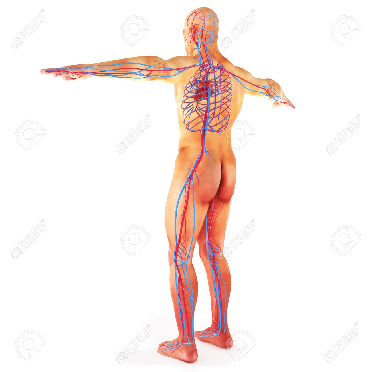 Male Human Circulatory System Blood Circulation On A White