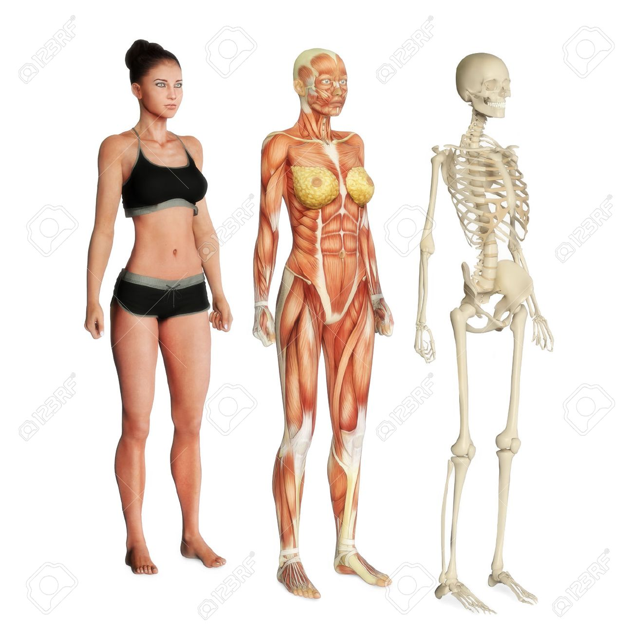 Female Illustration Of Skin, Muscle And Skeletal Systems Isolated ...