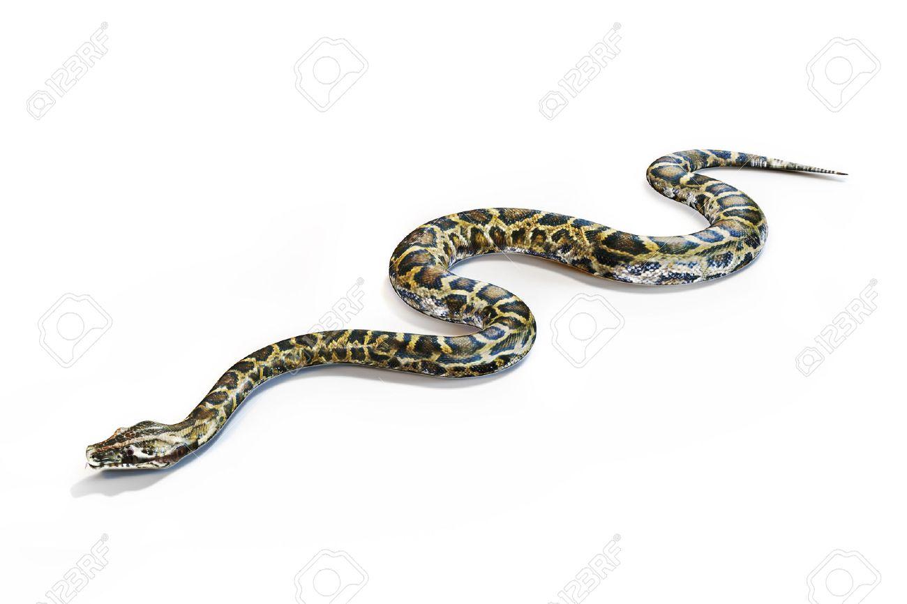 Anacondas snake on a white background. - 42557054