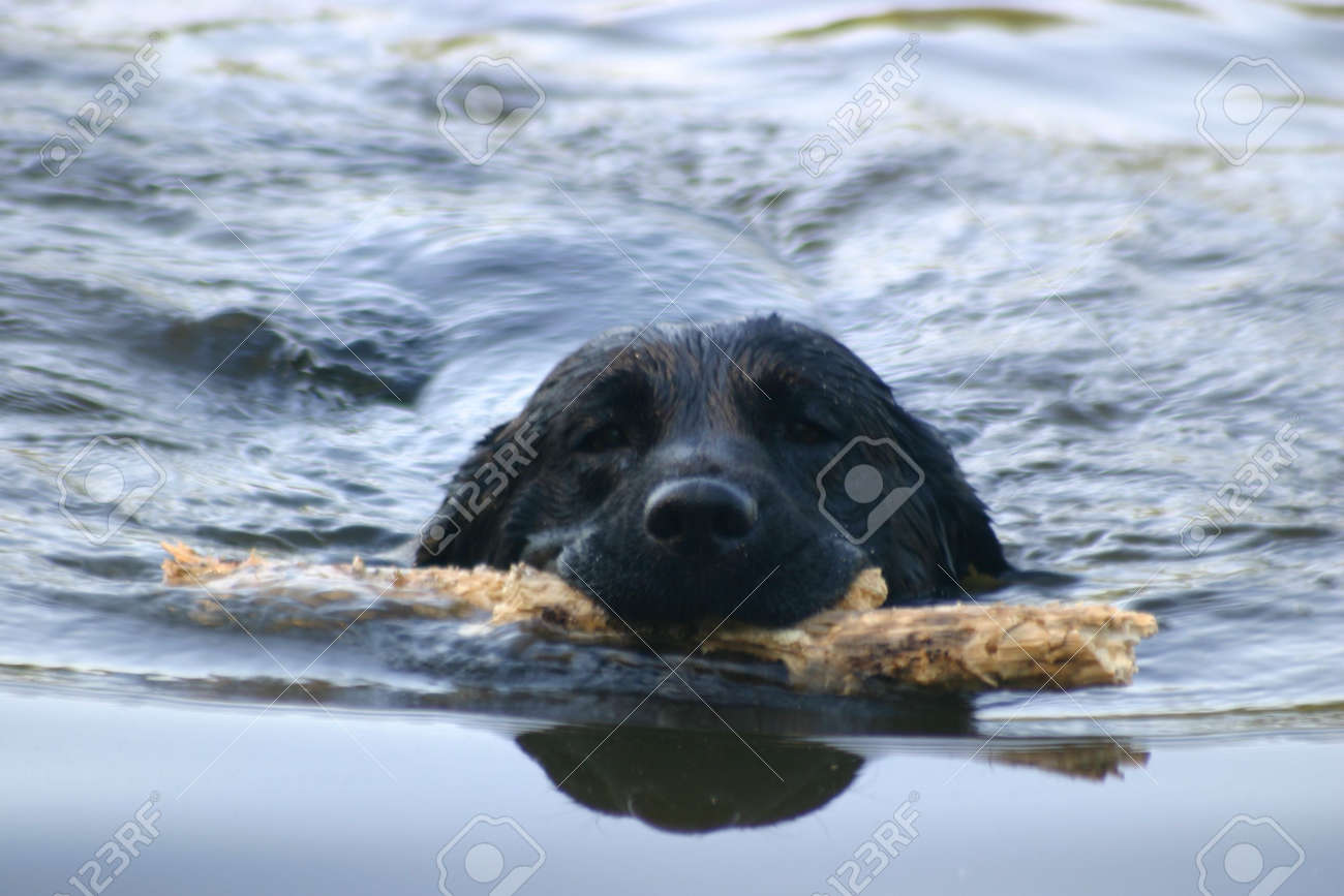 Black Labrador swimming with a stick in her mouth Stock Photo - 241663