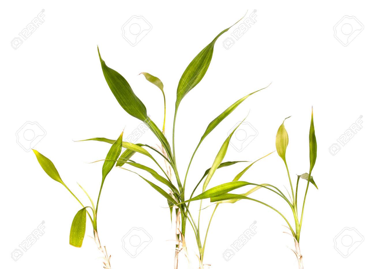 Steli Di Bamb.Steli Di Bambu Foglie Germogli E Vecchio Di Crescita Isolamento Bianco