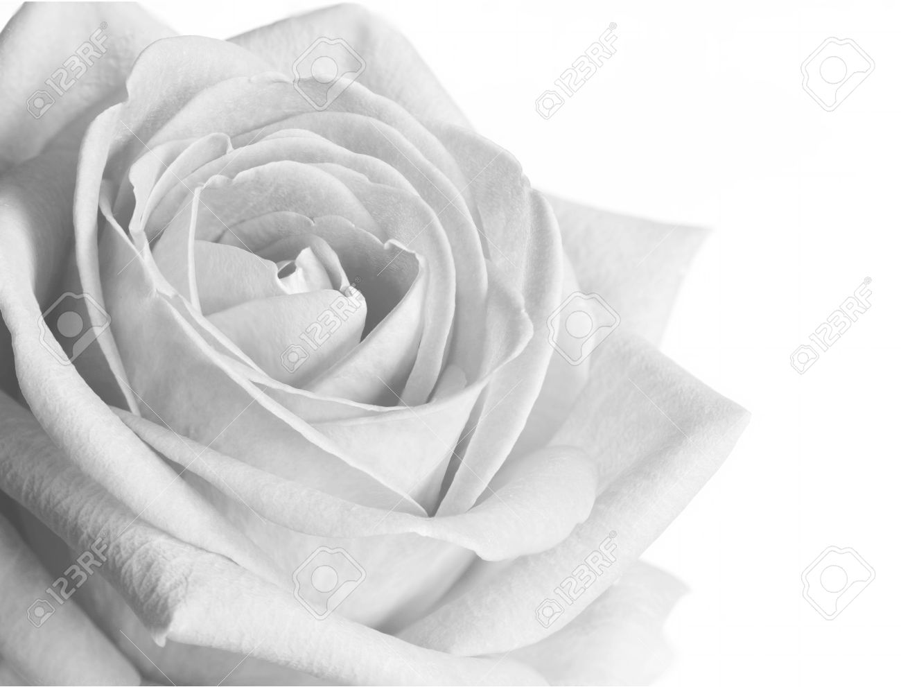 Black And White Rose On White Background Stock Photo Picture And