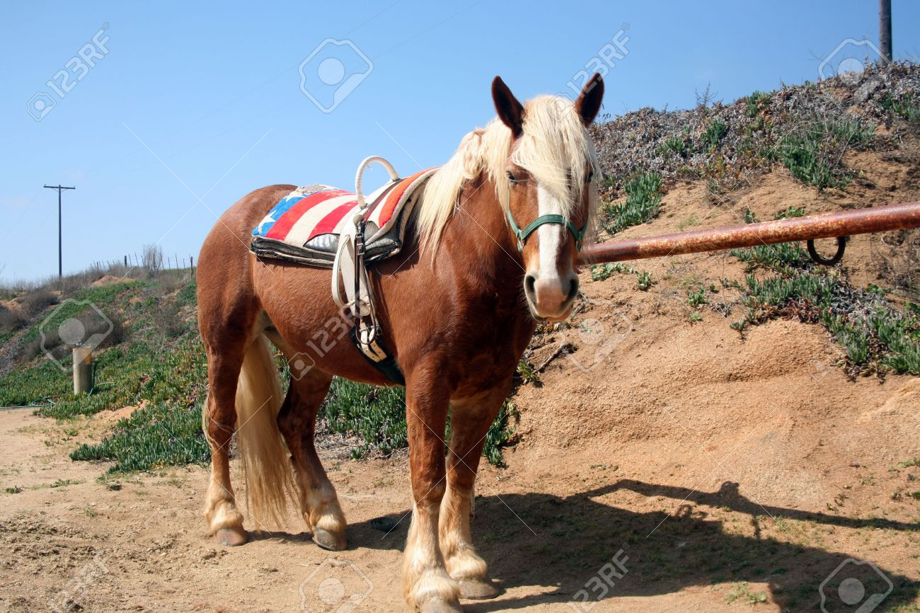 Belgian Palomino Draft Horse With Vaulting Belt Which Is Used Stock Photo Picture And Royalty Free Image Image 823882