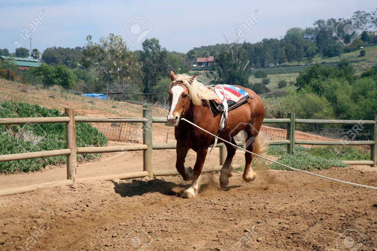 Belgian Palomino Draft Horse With Vaulting Belt Which Is Used Stock Photo Picture And Royalty Free Image Image 814481