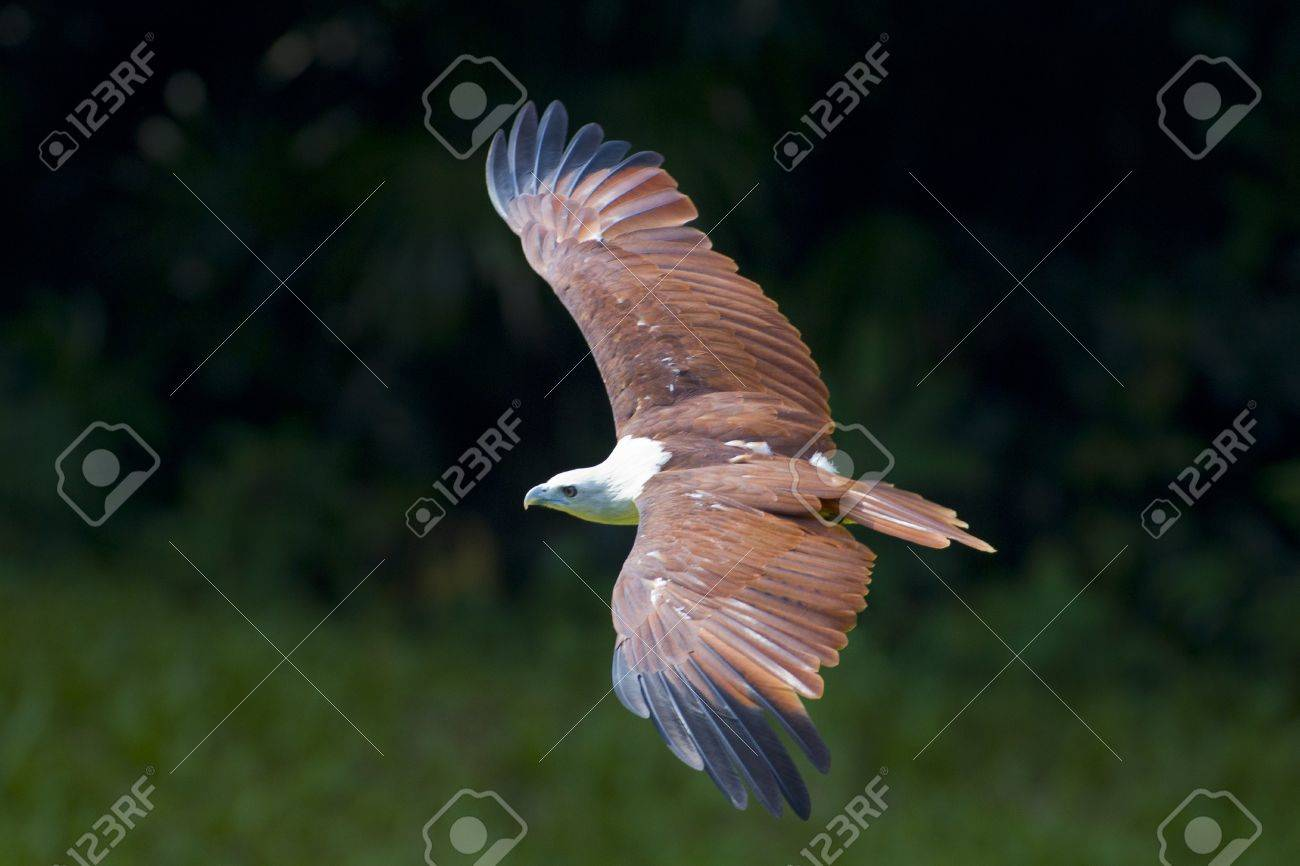 Sea Eagle flying looking for its prey Stock Photo - 10914498