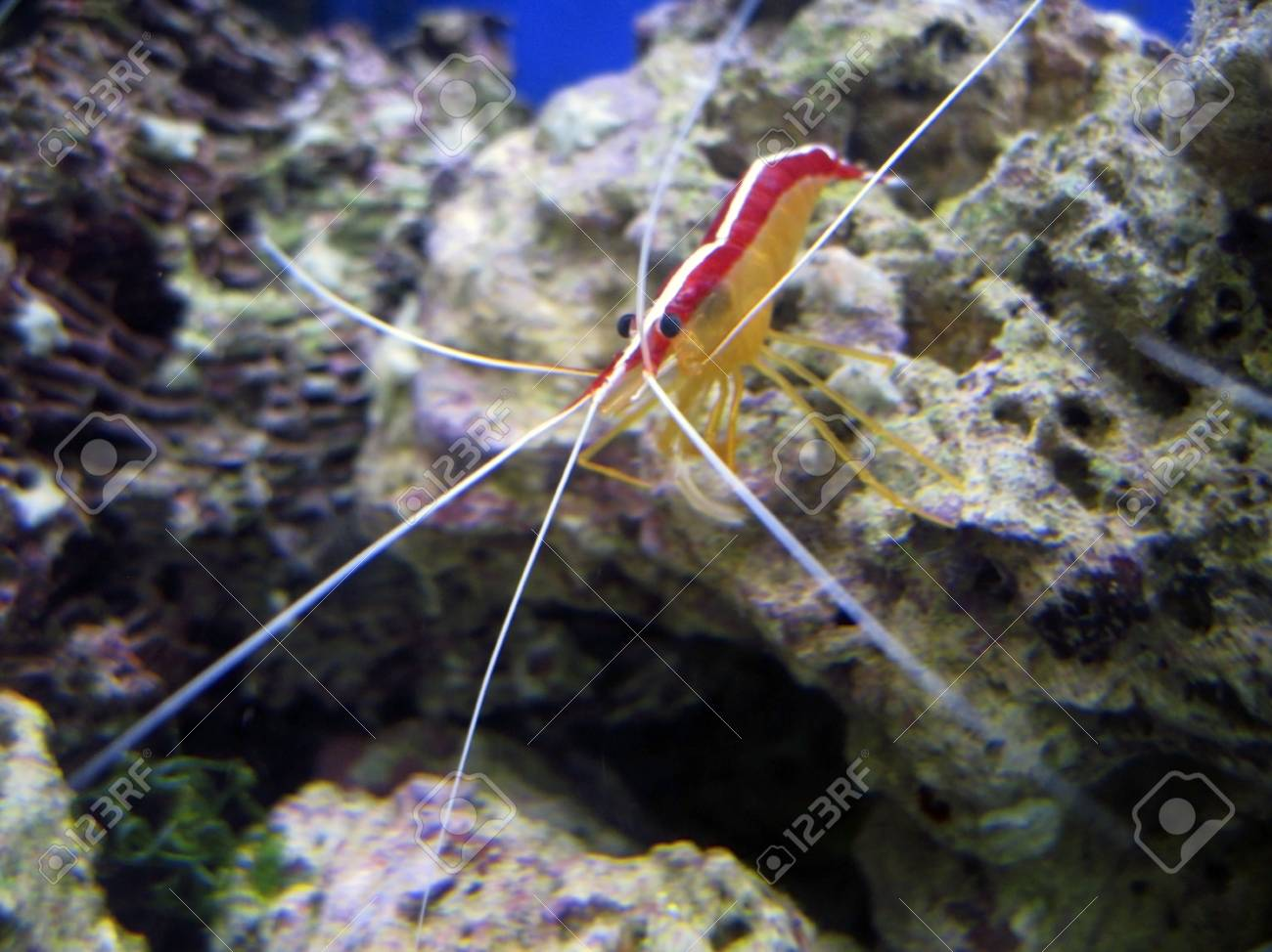 Red royal shrimp with a white moustache Stock Photo - 10743623