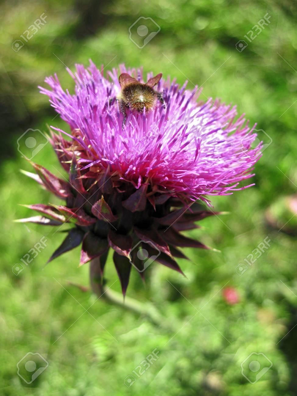Bee landing on the thistle Stock Photo - 15846325