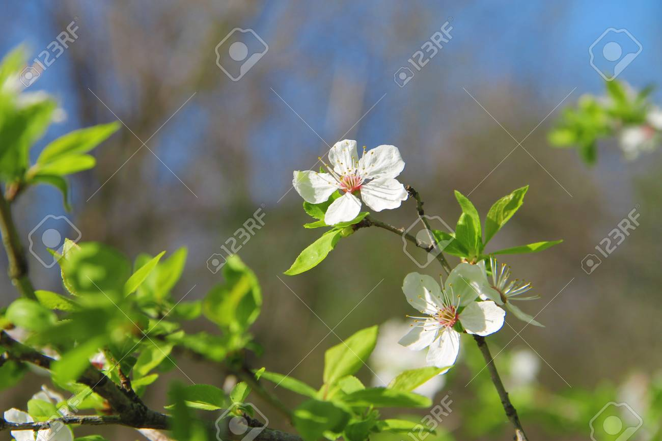 White Flowers Blossoming On The Branch Of Wild Tree Stock Photo