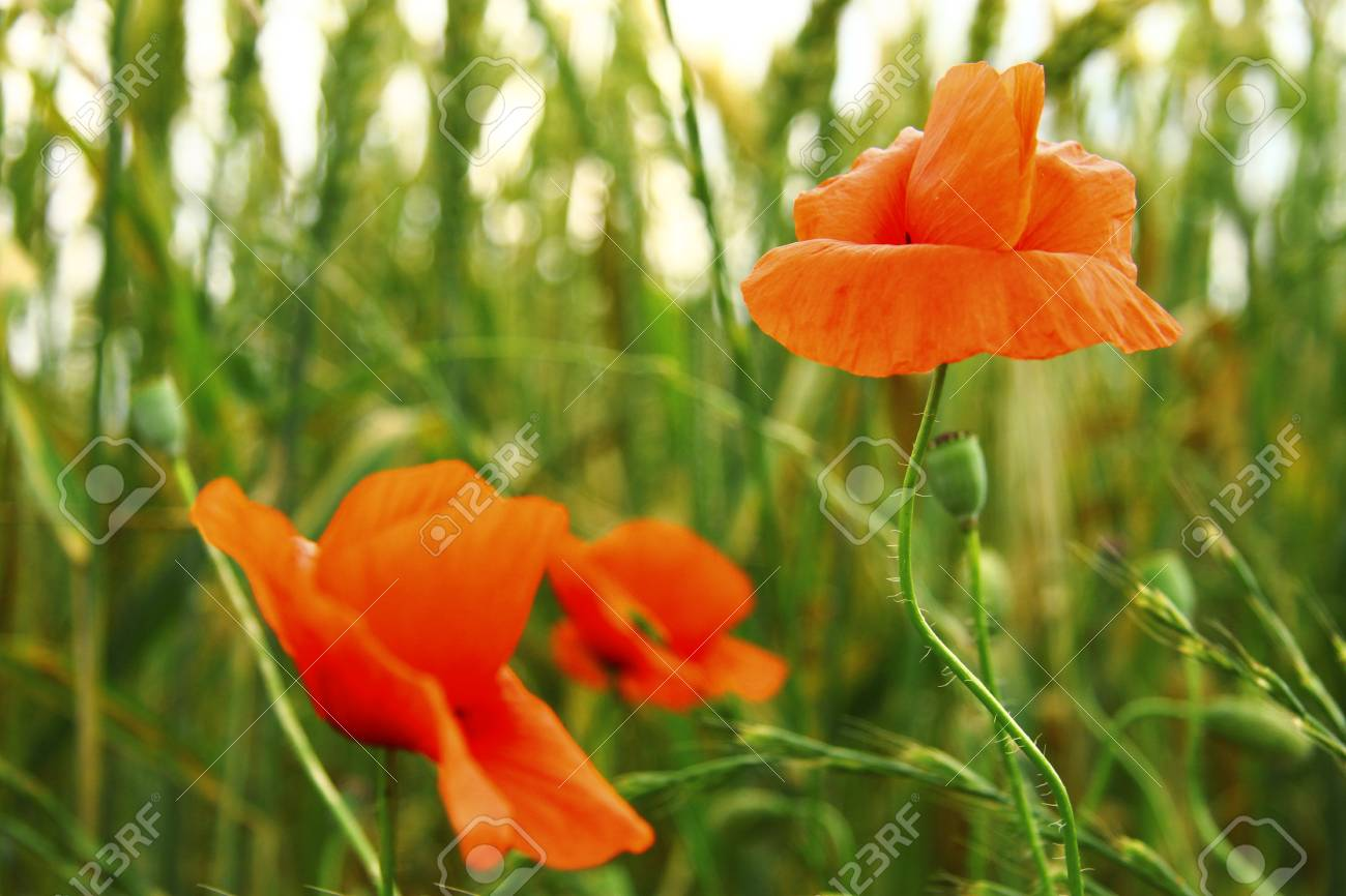 Red Poppy Flowers On The Field Of Wheat Summertime Stock Photo