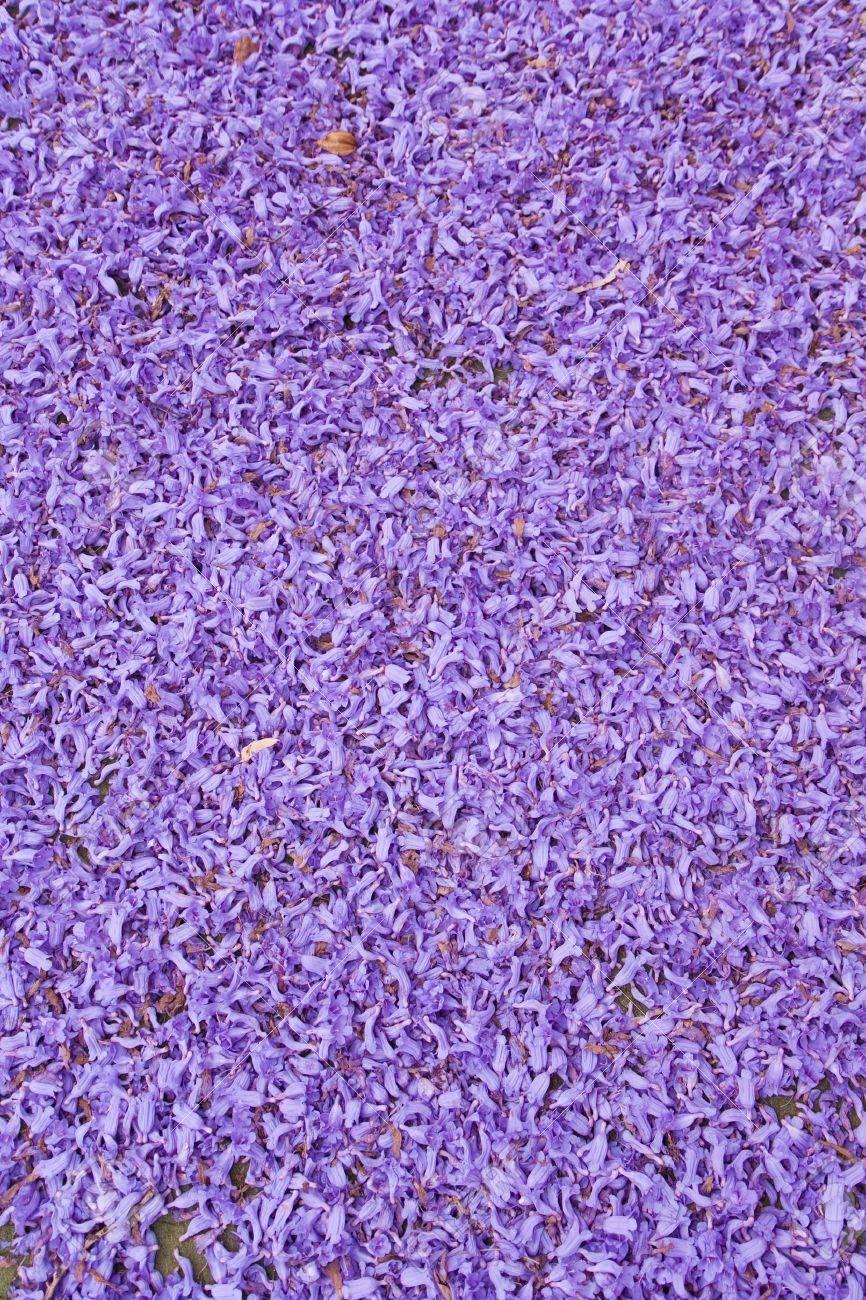 Full frame of purple jacaranda flowers - 15163724