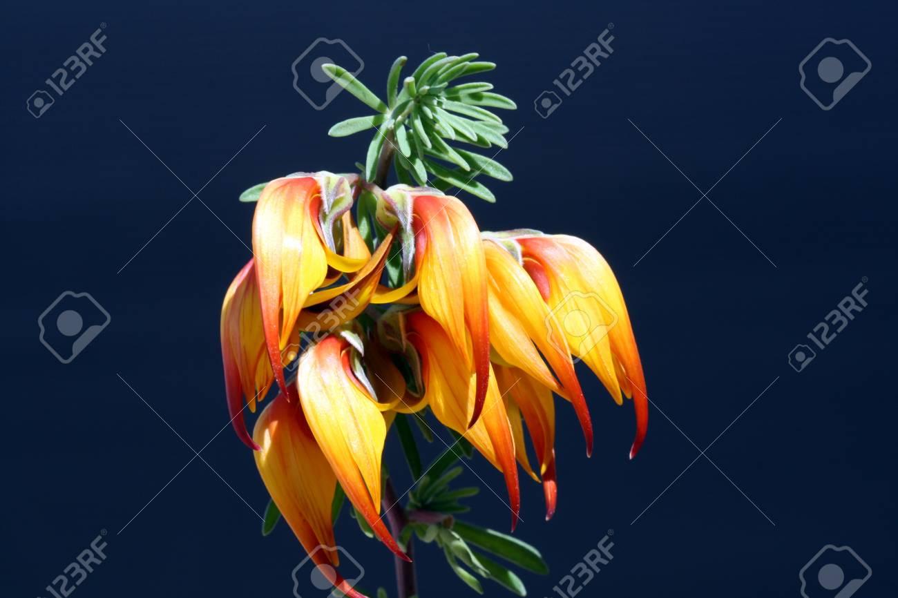 lotus maculatus,Gran Canaria,Spain Stock Photo - 12873677