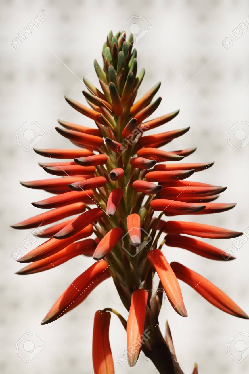 aloe distans,Gran Canaria,Spain Stock Photo - 13081293