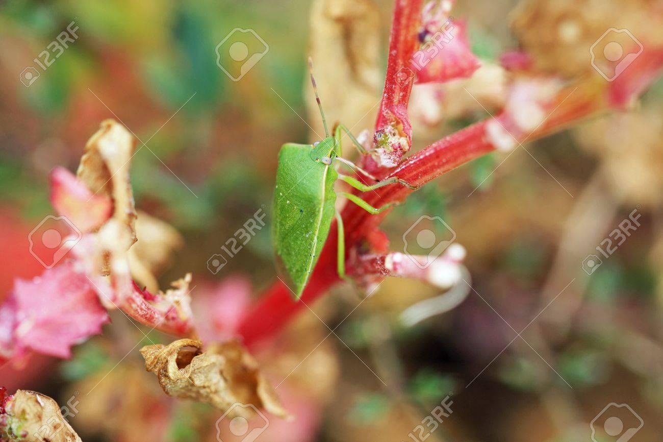 green shield bug,Gran Canaria,Spain Stock Photo - 17934404