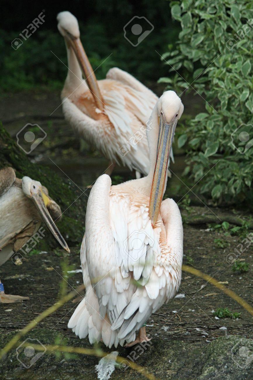 great white pelican,Gran Canaria,Spain Stock Photo - 21760250