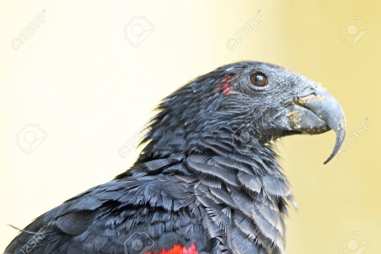 Pesquet Parrot For Sale Stock Photo Pesquet s Parrot