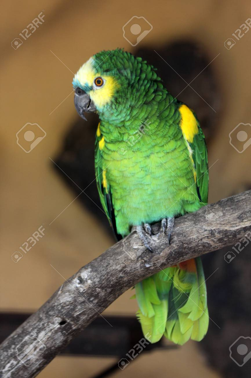 Blue Fronted Amazon Gran Canaria Spain Stock Photo Picture And