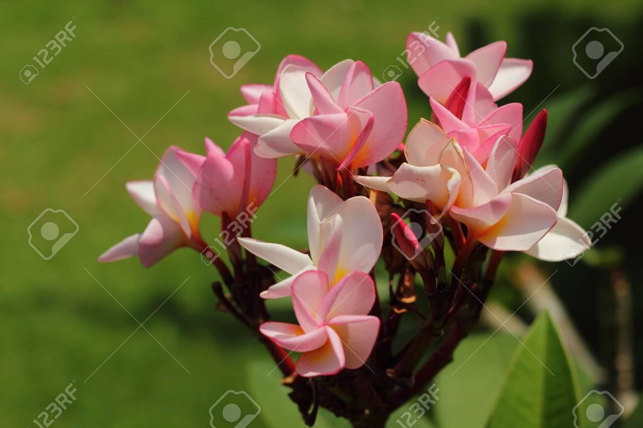 Frangipani flowers Stock Photo - 18726106